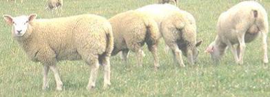 Incidence d'un apport en graines de lin ou en tourteau de colza fermier chez la brebis et/ou l'agneau sur les performances et le profil en acides gras de la viande d'agneaux élevés en bergerie ou au pâturage