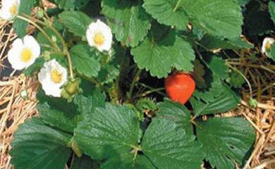 Les petits fruits arrivent...