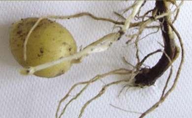 Pommes de terre : mieux comprendre le développement des bactéries pectinolytiques