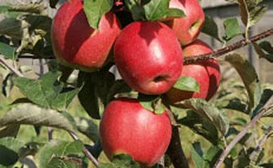 A Gembloux, les pommes prennent de la couleur …