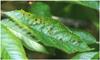 Développement d'outils rapides de détection et d'identification de bactéries phytopathogènes