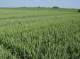 Etude de la répartition et du devenir de fongicides dans les plantes de blé et de leur impact sur le contrôle de maladies cryptogamiques