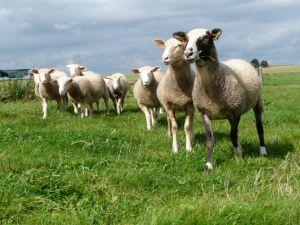 Une troupe ovine s'installe au CRA-W