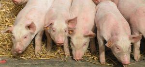 La fécule de pomme de terre comme alternative alimentaire à la castration des porcelets