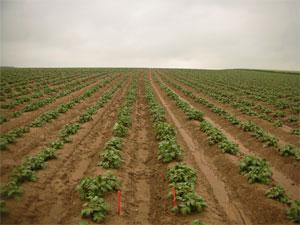 Cloisonnement des interbuttes de pommes de terre : premiers résultats très concluants