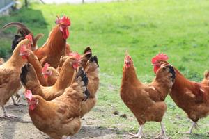 Le CRA-W vient au secours des races traditionnelles de volailles wallonnes