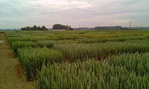 Du neuf à Gembloux pour le Catalogue national des variétés de céréales et la Biodiversité
