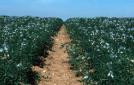 L'ensilage mixte lupin/maïs : un fourrage de haute valeur nutritionnelle