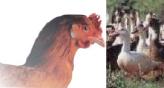 Amélioration du profil des matières grasses de la viande de poulet et du foie gras de canard par l'ajout de graines de lin extrudées dans l'alimentation