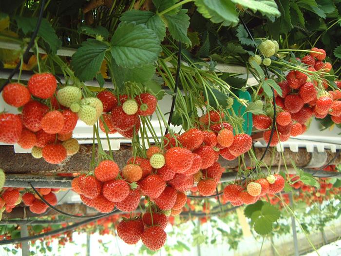 Le CRA-W soutient la filière horticole wallonne