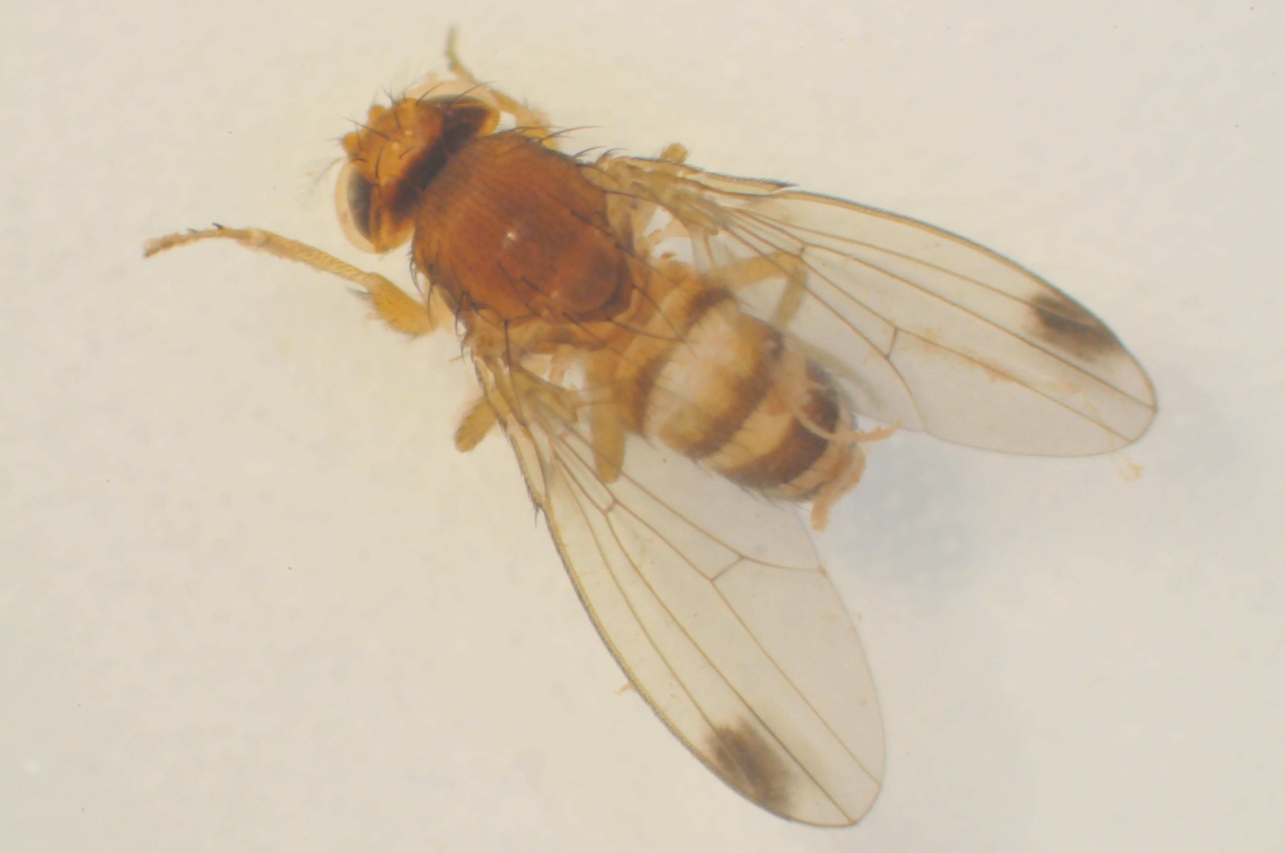 Drosophila suzukii… Nouveau ravageur dans les cultures de fraises et de petits fruits, de  cerises, de prunes, de raisins et autres