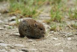 Les « rattes » vont pulluler en 2013