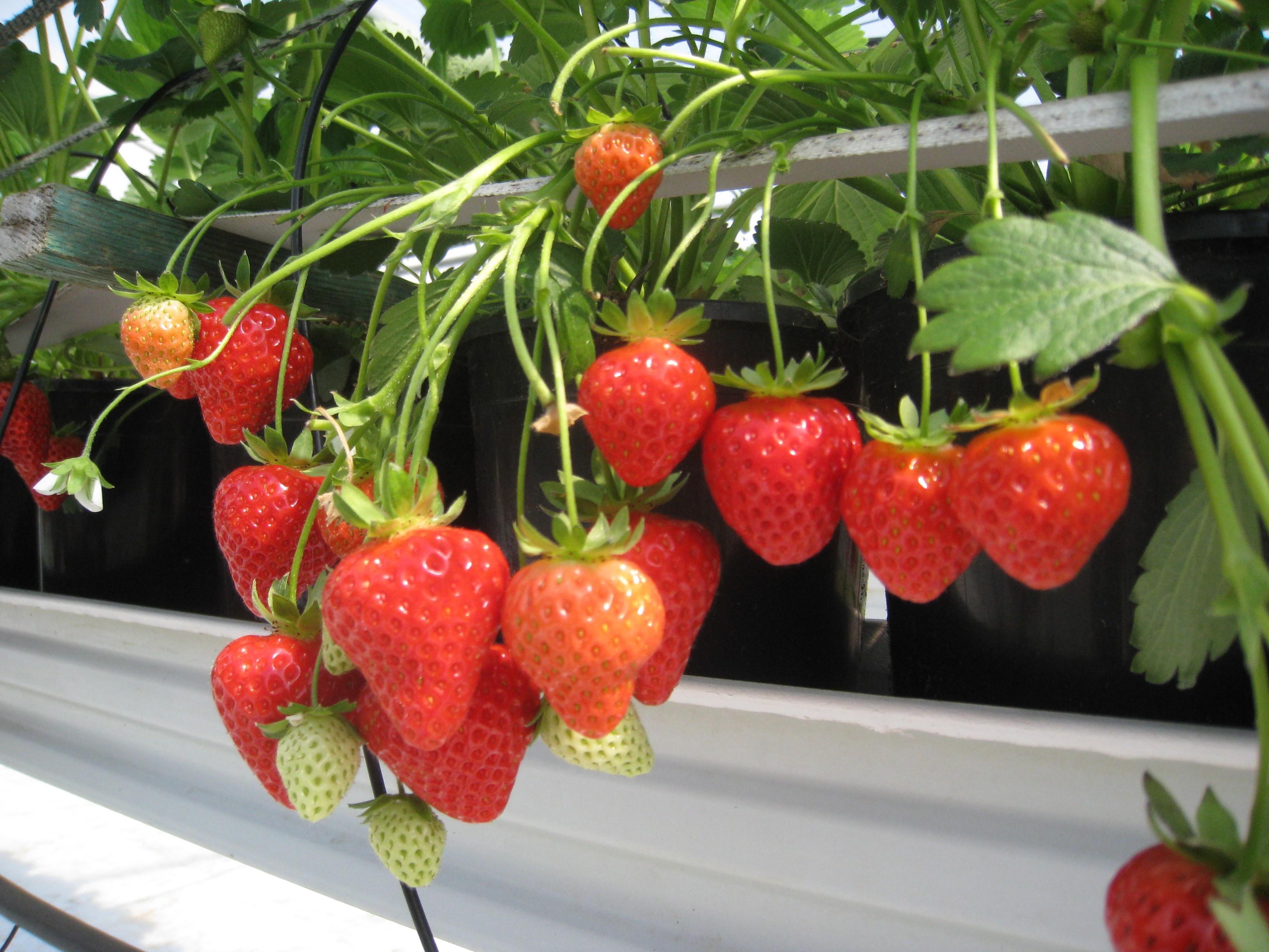 Nouvelle fin de saison des fruits annonciateurs de beau temps