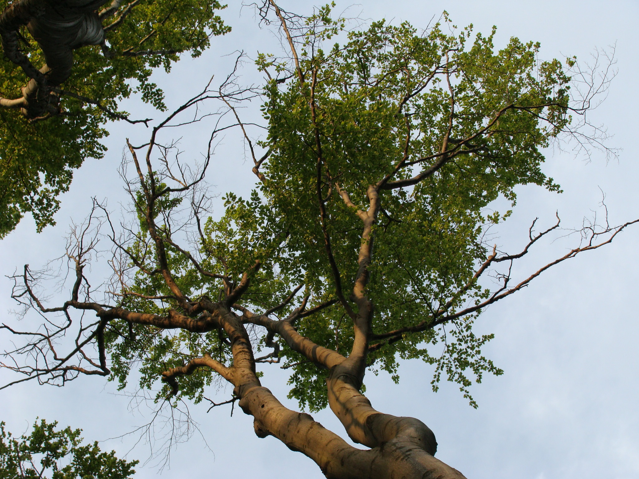 Nos forêts menacées par des champignons venus d'ailleurs