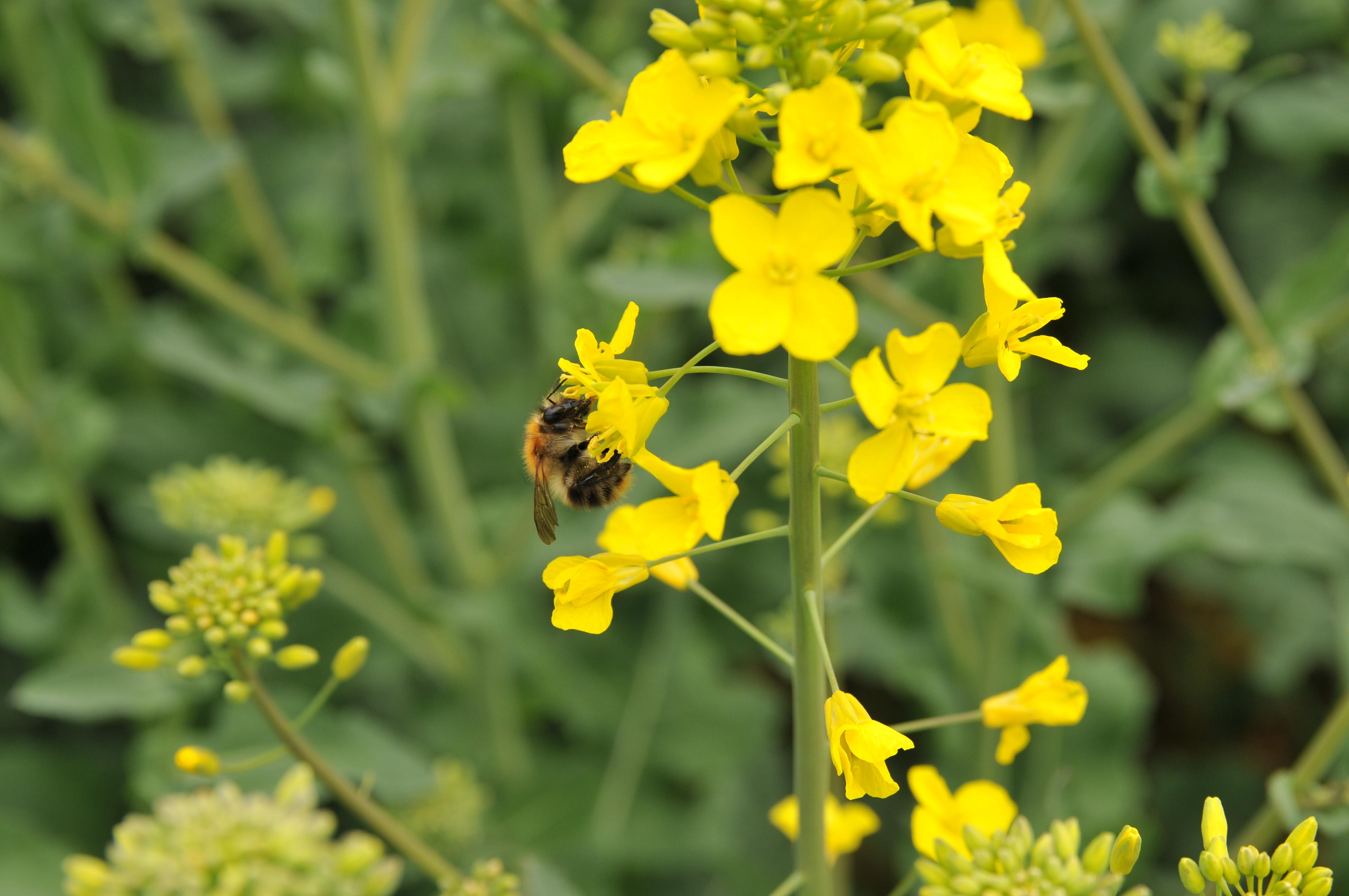Du colza sans méligèthe et sans insecticide, utopie ou réalité ?
