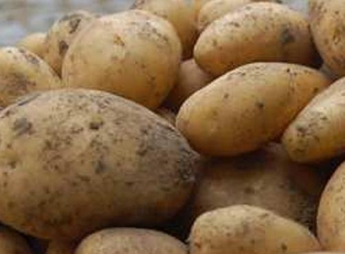 Nouvelles variétés de patates belges