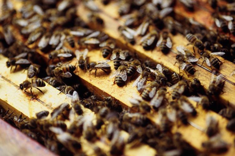 Des fongicides impliqués dans le dépérissement des colonies d'abeilles ?