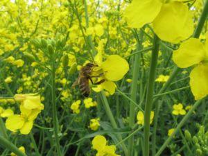 Un nouveau facteur de stress chez les abeilles mellifères