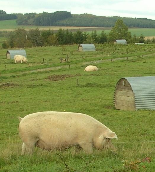 Le porc bio wallon :  quelles pistes d'avenir?