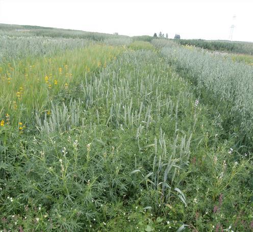 Agriculture biologique : Intérêt et agronomie des associations céréales-protéagineux de printemps à moissonner