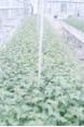 Micropropagation de Rosacées fruitières, ornementales et forestières