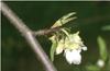 Meilleure connaissance des bactérioses et des sensibilités variétales en vue d'une lutte raisonnée en horticulture fruitière