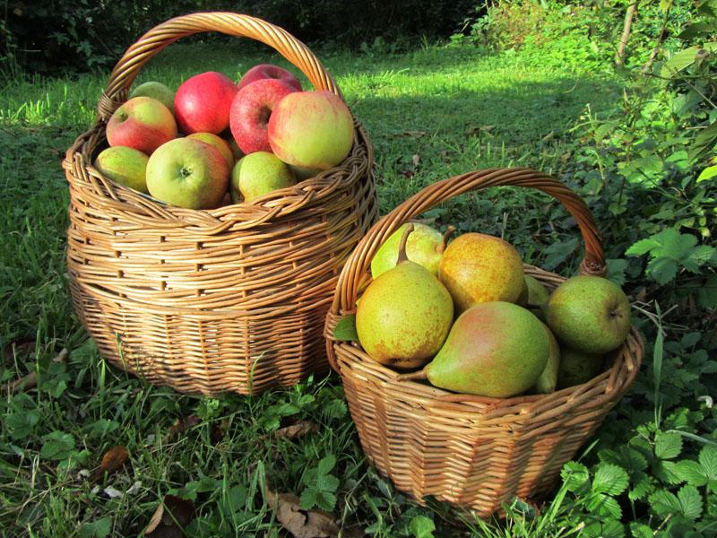 Les anciennes variétés fruitières, les variétés de demain
