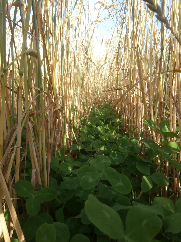 Visite de terrain sur les couverts végétaux  le 4 novembre à Rhisnes