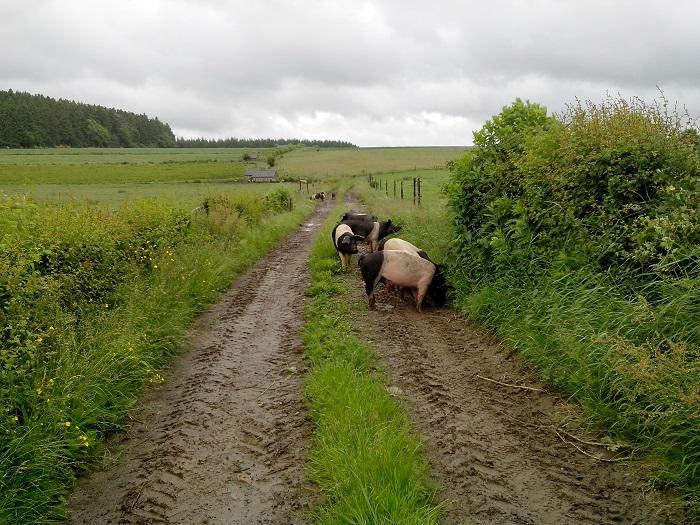 A la recherche d'une autonomie alimentaire pour des porcs bio wallons !