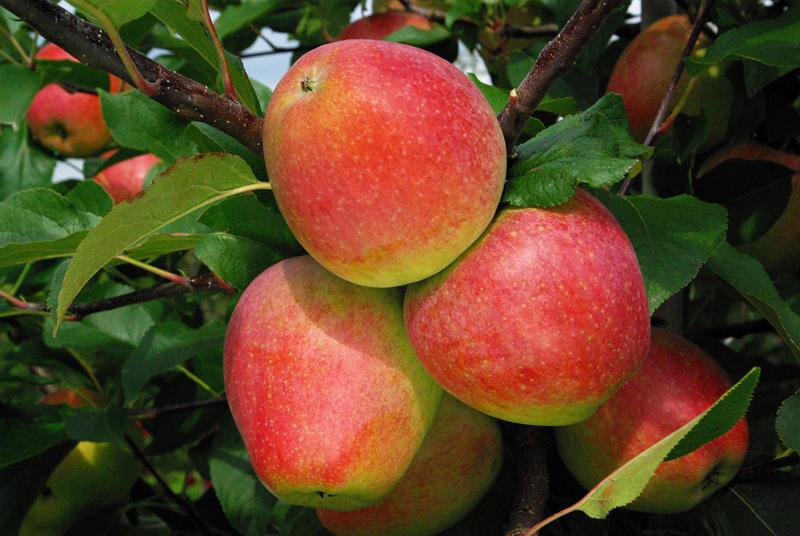 Novafruits en pommes et poires - Des variétés créées en bio et bas intrants