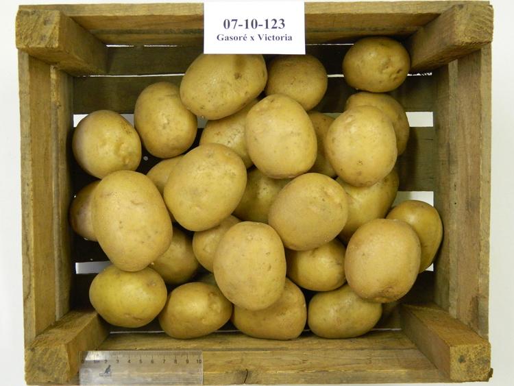 Louisa : la nouvelle variété de pomme de terre belge, sélectionnée au CRA-W!
