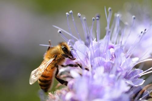 L'évaluation des risques des pesticides pour les pollinisateurs remise en question