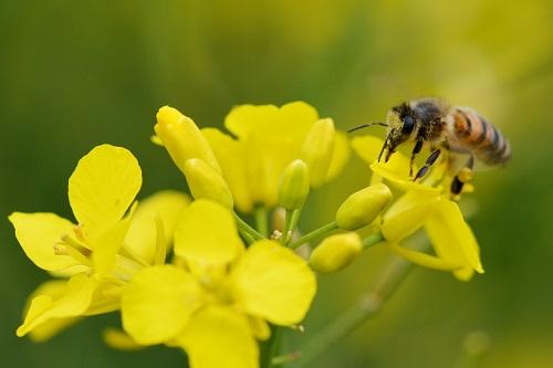 L'exposition des abeilles mellifères aux pesticides est-elle correctement estimée dans l'évaluation du risque?