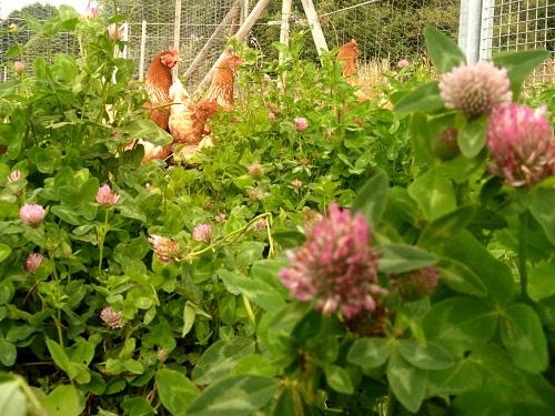 Le pâturage des poules…pour améliorer la qualité de nos œufs