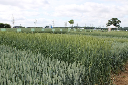 Varieties: a decisive factor in the success of organic crops