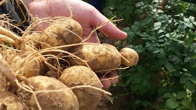 Des satellites pour augmenter la production belge de pommes de terre