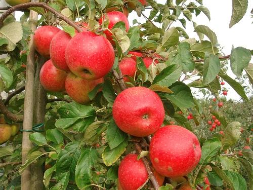 Fruitiers : la revanche des hautes tiges