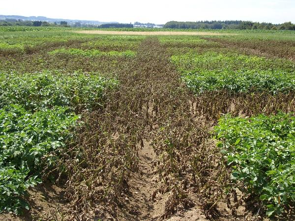 Amélioration et gestion de la résistance de la pomme de terre à Phytophthora infestans pour le développement d'une agriculture écologiquement intensive
