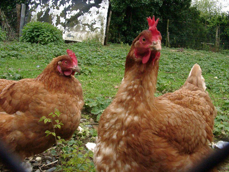 Hyperspectral imaging in poultry farming