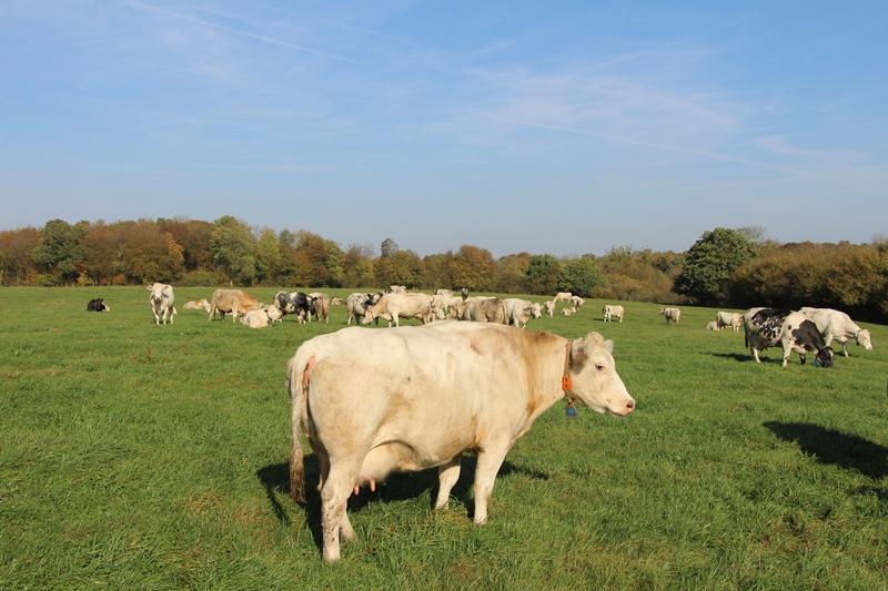 2-Org-Cows : adapater les races bovines mixtes aux systèmes biologiques et à bas intrrants