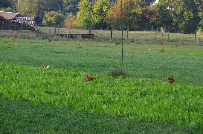 L'aménagement des parcours extérieurs : pour que les poulets prennent le vert !