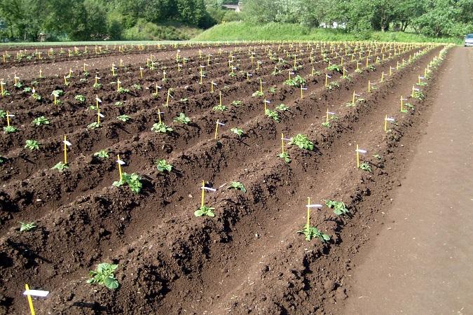 GEREPHYTI : la recherche au service de la sélection en pommes de terre