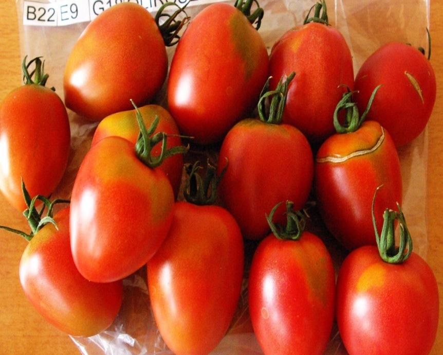 Évaluations et caractérisations de différentes variétés de tomates en maraîchage biologique