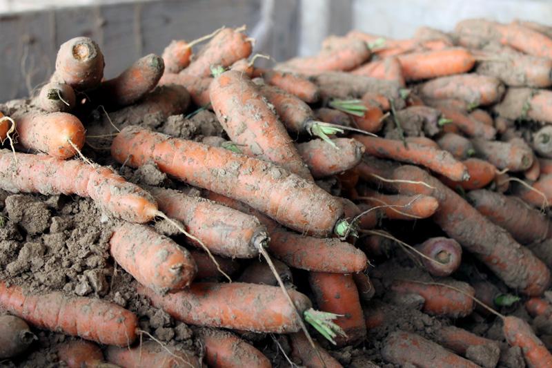 Visite d'essais variétaux bio de carottes et betteraves rouges