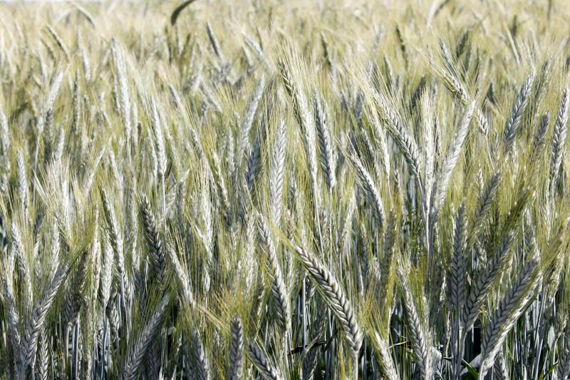 Comparaison de variétés de céréales bio