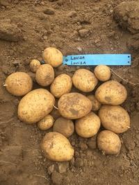 Louisa,  la nouvelle variété de pomme de terre belge,  plus écologique et locale !