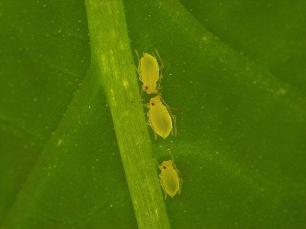 Le puceron, Myzus persicae : monitoring de la résistance aux insecticides en Wallonie, des résultats préliminaires interpellant