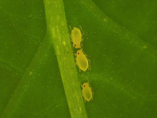 The aphid, Myzus persicae: monitoring of insecticide resistance in Wallonia, some challenging preliminary results