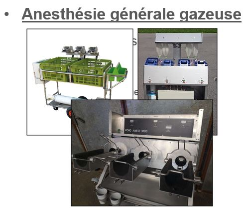 La castration des porcelets: analgésie et anesthésie, mise à jour!