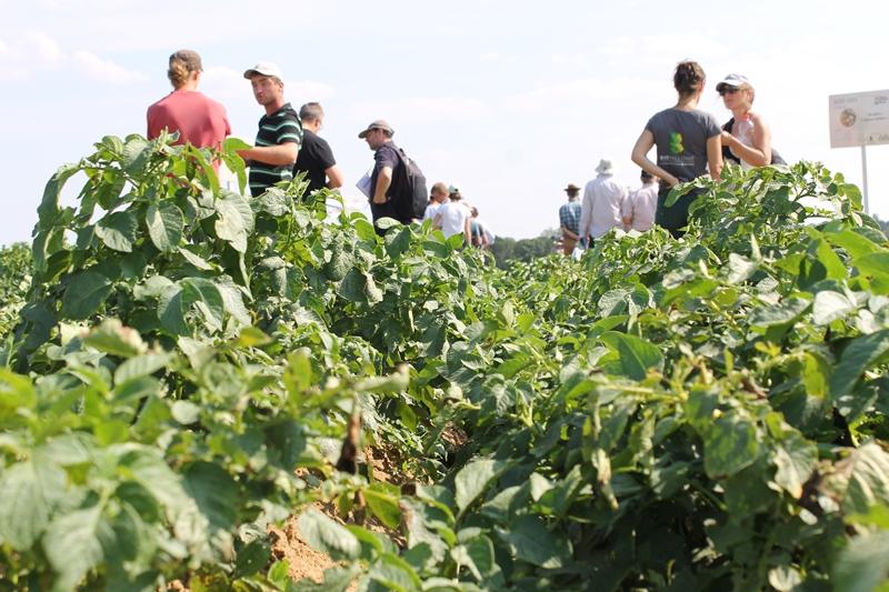 Vers une culture de pommes de terre robustes bio en Wallonie